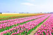 Beautiful blossoming tulip fields in the countryside from the Ne — Stock Photo