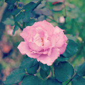 Rose in garden with retro filter effect — Stok fotoğraf