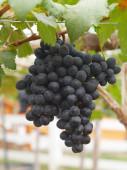 一束束从藤上的葡萄挂 — 图库照片