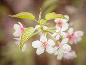 Pastel tones Spring Cherry blossoms sky with filter effect retro vintage style — Стоковое фото
