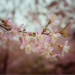 Pastel tones Spring Cherry blossoms sky with filter effect retro vintage style — Stock Photo #65408623