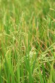 Planta de arroz — Fotografia Stock