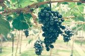 Winogrona z efektu retro filtr — Zdjęcie stockowe