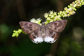 Large Snow Flat butterfly — Stock Photo
