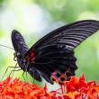Great Mormon butterfly — Stock Photo #56684857