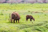 Water buffaloes — Stock Photo
