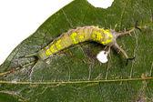 Common Pasha caterpillar — Stock Photo