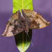 Mango Baron butterfly — Stock Photo