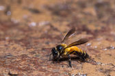 Giant honey bee — Stock Photo