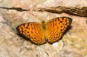 Motýl malý leopardí — Stock fotografie
