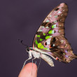 Tailed Jay butterfly — Stock Photo #71830897