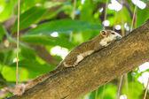 Asian tree squirrel — Stock Photo