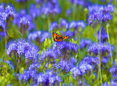 Field of Phacelia with Butterfly — Stock Photo