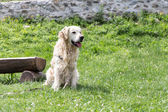 White Golden Retriever — Stock Photo