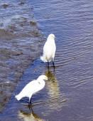Snowy Egrets in Wildlife Refuge' swamp waters — Stock Photo