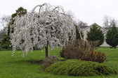 Weeping Cherry in Bloom in yard — Stock Photo