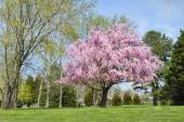 Weeping Willow Tree in Full Bloom, pink flowers — Stock Photo