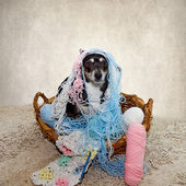Terrier Dog with Yarn Strung all over her — Stock Photo