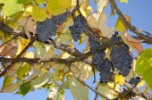 Ripe grapes on branches — Stock Photo