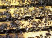 Пчелы на соты с медом — Стоковое фото
