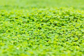 Green clover background — Stock Photo
