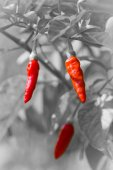 Red hot chili on black and white background — Stock Photo