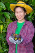 Female agriculturist hand showing mangosteens — Stock Photo
