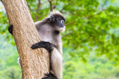 Dusky leaf monkey or Trachypithecus obscurus on tree — Stock Photo