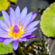 Purple Lotus flower ( Nymphaea Nouchali ) — Stock Photo #55163671