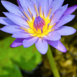 Purple Lotus flower ( Nymphaea Nouchali ) — Stock Photo #55163875