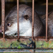 ������, ������: Otter in a cage