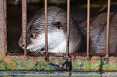 Otter in a cage — Stock Photo