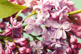 Tender lilac flowers — Stock Photo