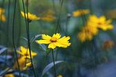 Yellow flowers, misty morning — Stock Photo