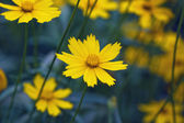 Yellow flowers close up, misty morning — Stock Photo