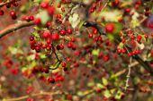 Hawthorn twigs close up — Stock fotografie