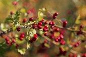 Beautiful hawthorn twigs — Stock Photo