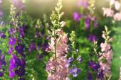 Gentle pink and purple delphinium flowers — Stock Photo