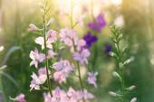 Soft pink delphinium flowers close up — Stock Photo