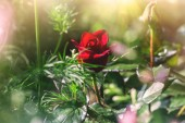 Red rose, blooming in a garden — Stock Photo