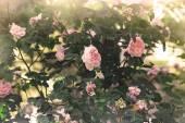 Rosebush in a garden — Stock Photo