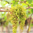 Seedless grapes ripen on the tree Stock Photo — Stock Photo #56234393