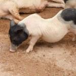 Happy pigs - Stock Image — 图库照片 #69271601