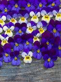 Beautiful wild violets — Stock Photo