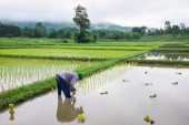Farmer in field rice farming — Stockfoto