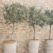 Potted olive trees in a row. — Stock Photo #72273965