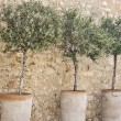 Potted olives in a row. — Stock Photo #72273911
