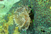 Christmas Tree Worm live on hard coral tube worm. — Stock Photo