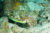 Camouflaged cuttlefish, changing its color to match the sand bottom. — Stock Photo