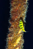 Juvenile Golden trevally (Gnathanodon speciosus) on rope — Stock Photo